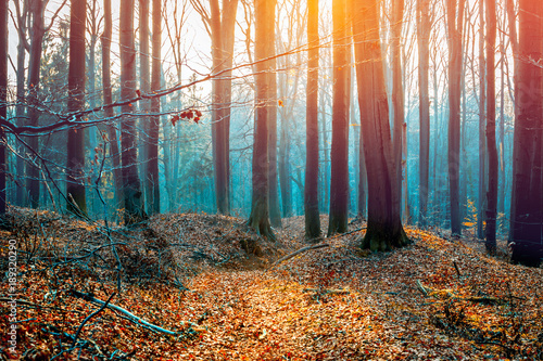 Papiers peints Forets Beech trees autumn forest during sunset