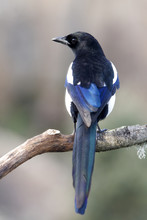 Common Magpie, Pica Pica