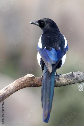 Fotografía Common magpie, Pica pica