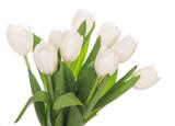 Fototapeta Tulipany - White tulips on white background
