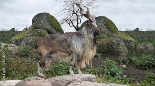 Fotografie, Tablou male Turkmenian markhor (Capra falconeri heptneri) stand on rocks