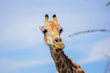 Close up of a Giraffe's head making a happy and funny face. Seen in Etosha National Park in Namibia, Africa. Etosha Park is a famous tourist destination.