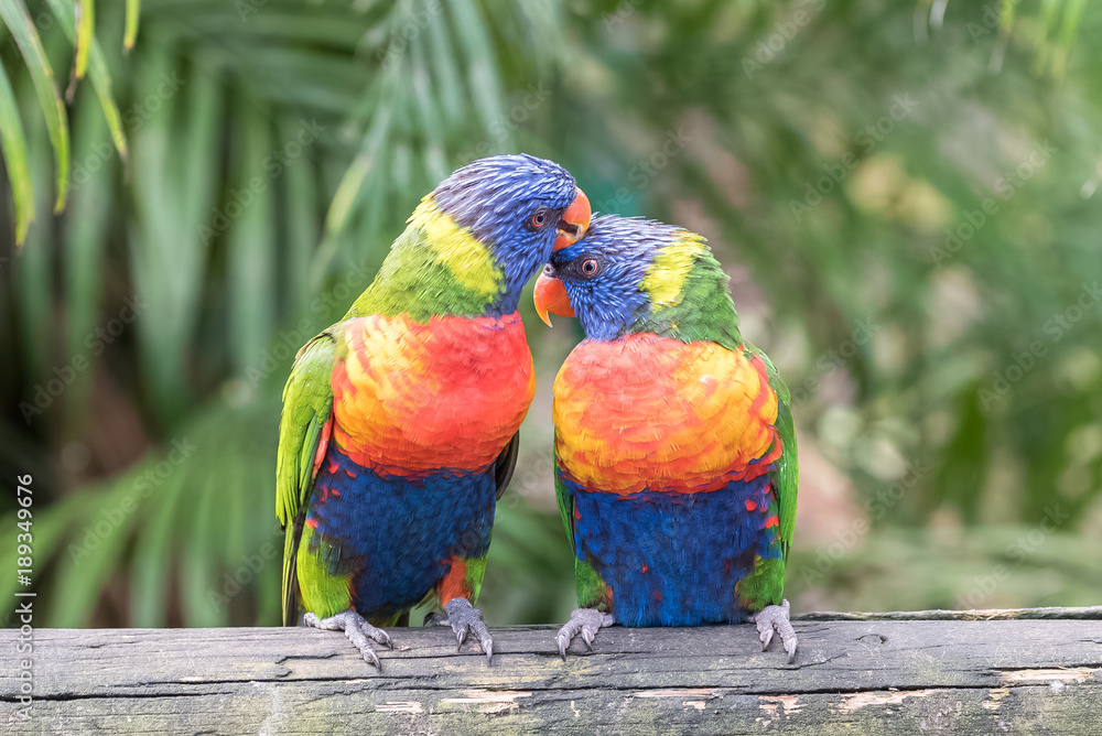 rainbow lorikeet, beautiful parrot perched on a branch