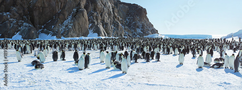 Panorama of Emperor penguin colony( aptenodytes forsteri)on the sea ice of Davis Fototapet