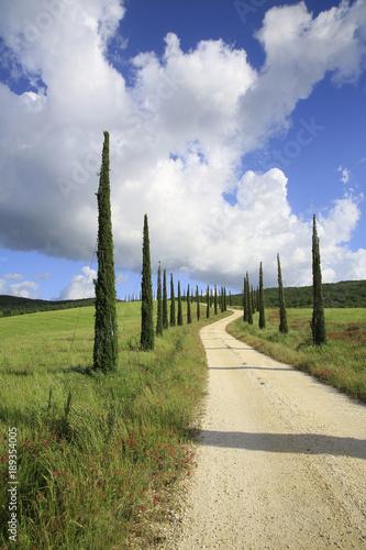 Fotografiet  Säulen- Zypressen, Jungpflanzen mit Weg, Toskana, Italien, Europa