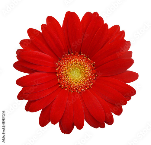 Deurstickers Gerbera Red daisy on white background