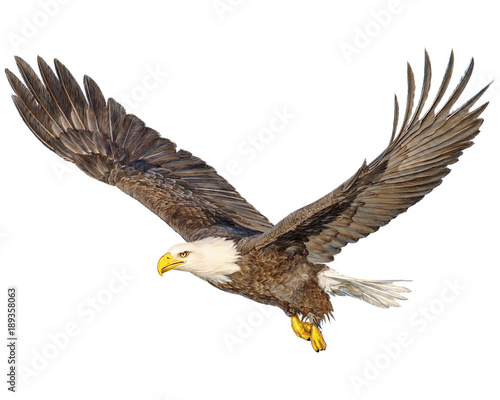 Photo  Bald eagle flying hand draw and paint color on white background illustration