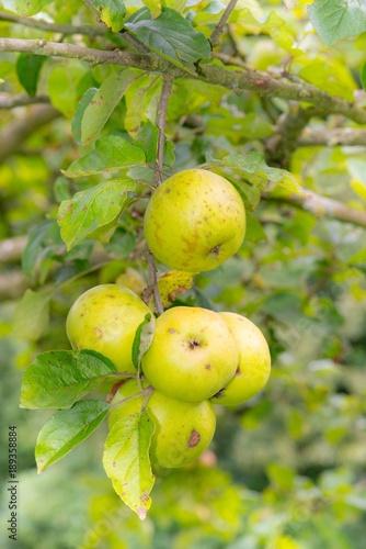 Grüne Bio-Äpfel hängen am Apfelbaum, Niedersachsen, Deutschland, Europa