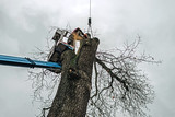 Arborist in platform cutting old oak with chainsaw. - 189363072