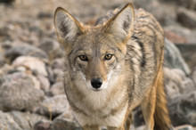 Coyote (Canis Latrans) In The ...