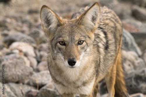 Tela Coyote (Canis latrans) in the California desert.