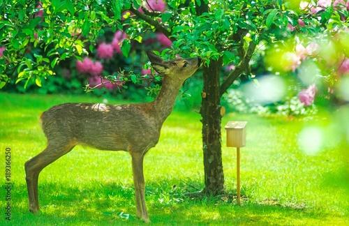 Europäisches Reh (Capreolus capreolus) knabbert in einem Garten von den Blätter eines Apfelbaums, Niedersachsen, Deutschland, Europa
