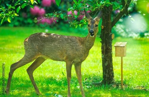 In de dag Ree Europäisches Reh (Capreolus capreolus) steht in einem Garten unter einem Apfelbaum, Niedersachsen, Deutschland, Europa