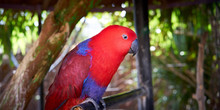 Electus Parrot / Red And Blue Eclectus Roratus, Often Seen Between New Guinea And Australia