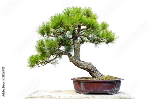 Montage in der Fensternische Bonsai Pine Bonsai Isolated on White Background