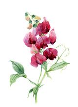 Sweet Pea. Watercolor Illustra...