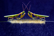 Mantis Two Face To Face Blue B...
