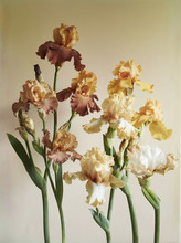 Bronze Bearded Irises