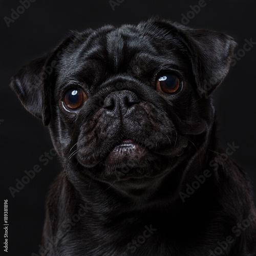 Obraz na plátně  Black pug dog, on a black background, portrait