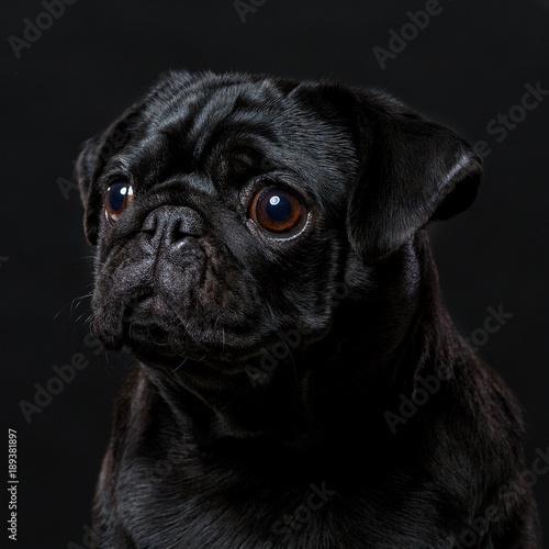 Black pug dog, on a black background, portrait Canvas Print