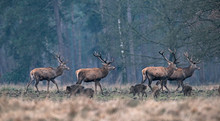 Group Of Red Deer Stag And Wil...