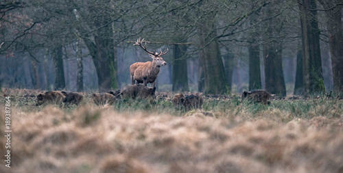 Solitary red deer stag and group of wild boars in field in forest.