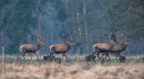 Group of red deer stag and wild boar in forest meadow.