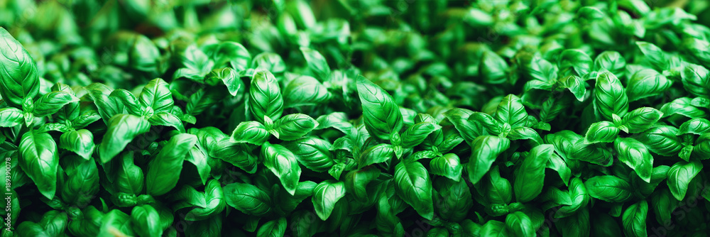 Fototapety, obrazy: Fresh basil background. Green banner. Food and clean eating concept. Copy space