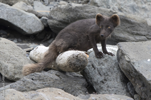 Breast-feeding female of the Commanders blue arctic fox jn the Copper island whi Poster