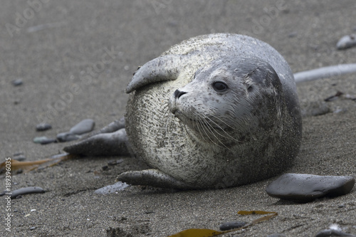 Photo  Harbor seal lying on a sandy beach that turned his head and looks into the dista