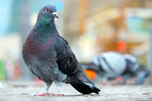 Colorful Shimmering City Pigeon, Columba Livia Domestica Sitting On The Cobblestones Sidewalk In Front Of Blurry Buildings And Lights In Berlin