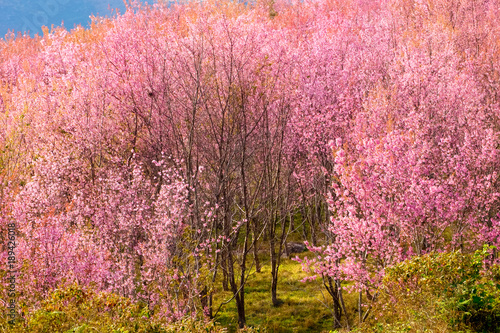 In de dag Candy roze Thailand's Cherry Blossom at Phu Lom Lo