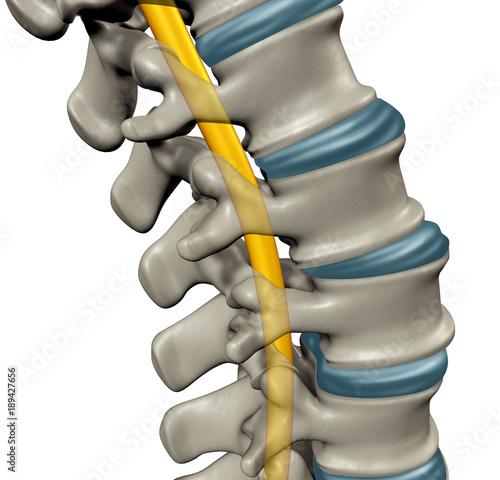 Fotografía Spinal Cord