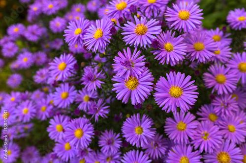 Photo Purple flowers of Italian Asters, Michaelmas Daisy (Italian Starwort, Fall Aster