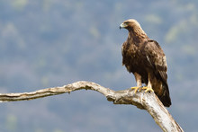 Golden Eagle On A Branch