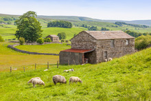 Sheep And A Barn In The Yorkshire Dales