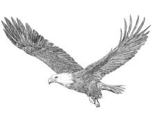 Bald Eagle Flying Hand Draw Sketch Black Line On White Background Illustration.