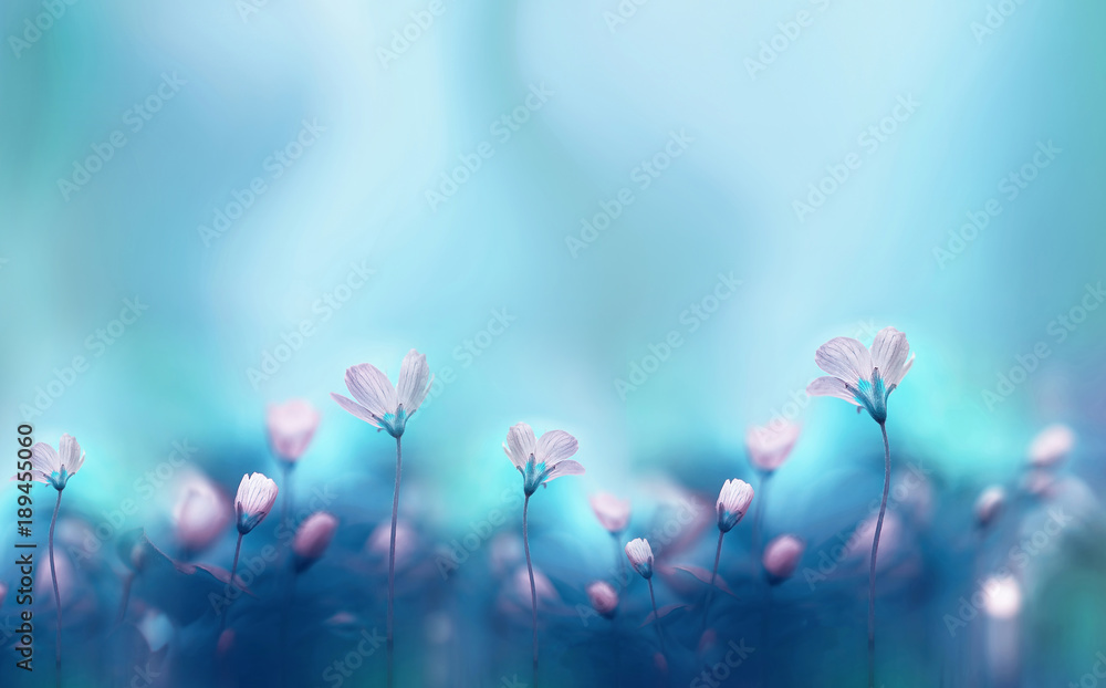Fototapety, obrazy: Spring forest white flowers primroses on a beautiful blue background macro. Blurred gentle sky-blue background. Floral nature background, free space for text. Romantic soft gentle artistic image.