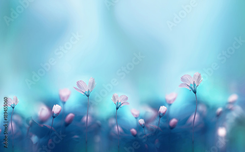 Spoed Fotobehang Bloemen Spring forest white flowers primroses on a beautiful blue background macro. Blurred gentle sky-blue background. Floral nature background, free space for text. Romantic soft gentle artistic image.