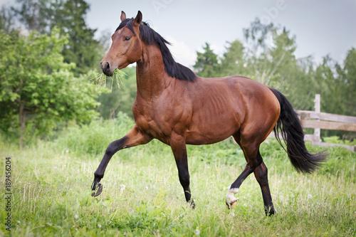 Fototapeta Bay horse running trot on the field in summer obraz