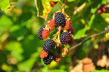 Group Of Ripe And Ripening Bla...