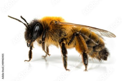Türaufkleber Makrofotografie Female Andrena Mining-bee