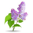 Spring flowers. Lilac isolated on white background.