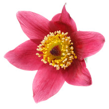 Pink Flower Pulsatilla Isolated On White Background.