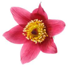 Pink Flower Pulsatilla Isolate...