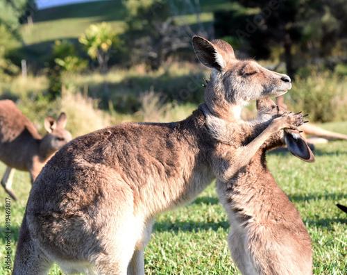 Kangaroos giving each other a hug.