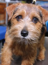 BROWN NORFOLK TERRIER DOG