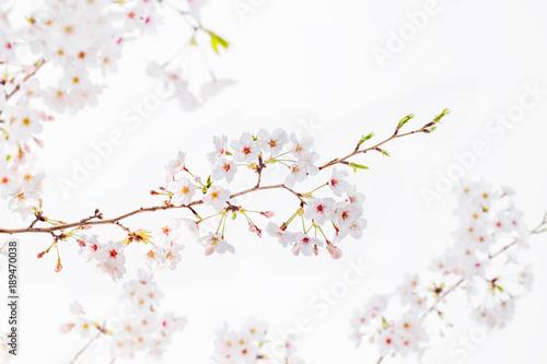 Keuken foto achterwand Kersenbloesem 桜の花