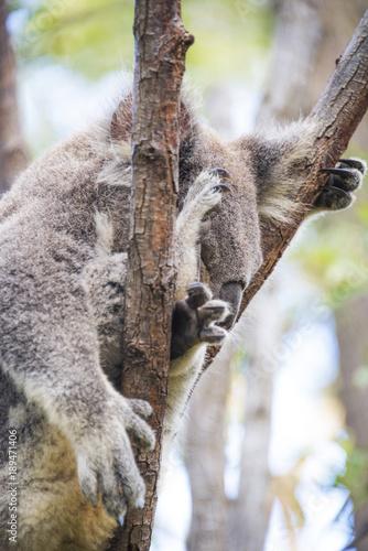 Keuken foto achterwand Koala Sleeping koala close up in tree