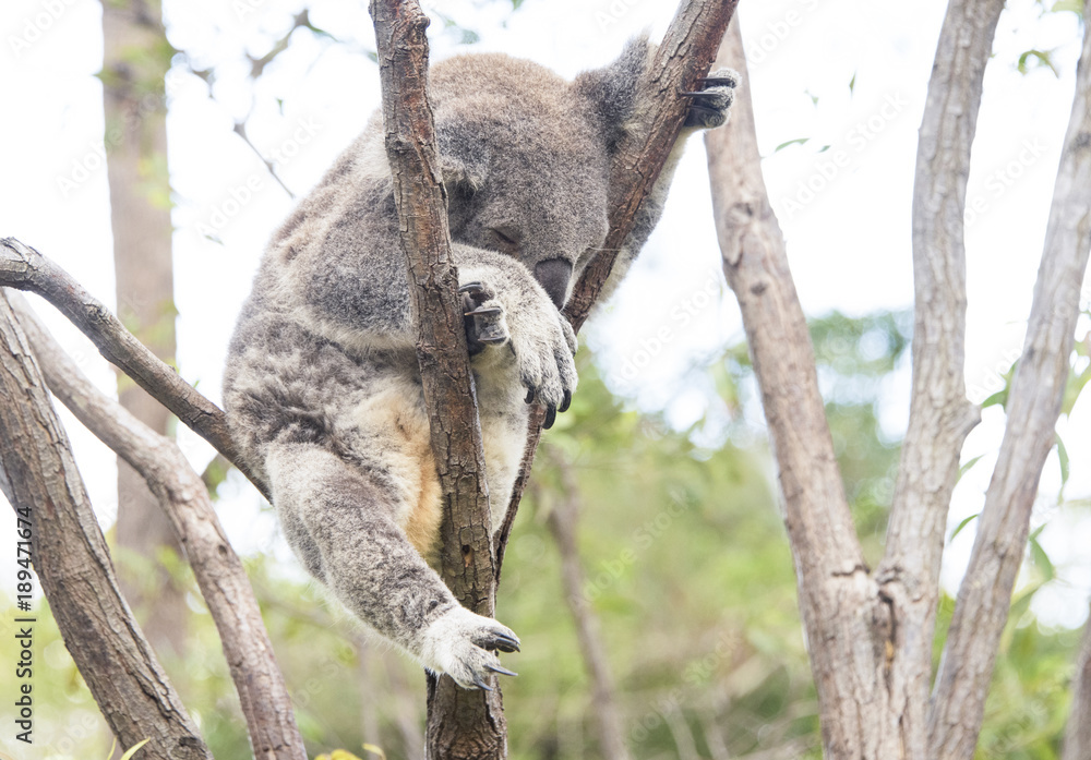 Sleeping koala looking uncomfortable in tree